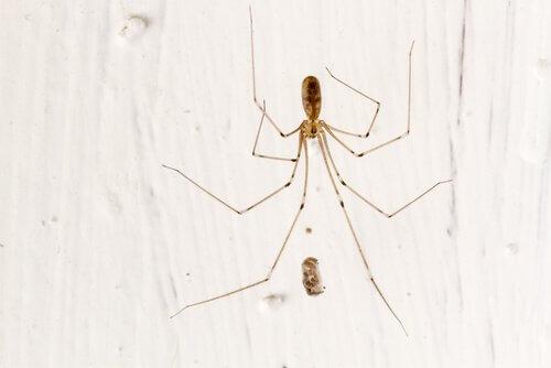 Aranha caveira