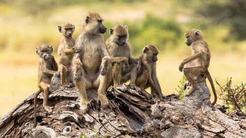 Família de babuínos