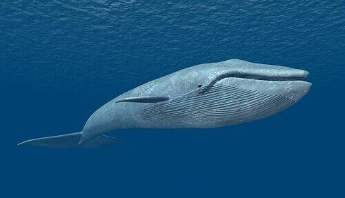 o maior animal que existe na Terra: baleia azul
