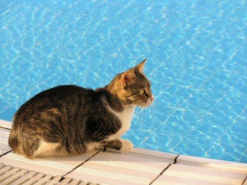gato na beira de uma piscina