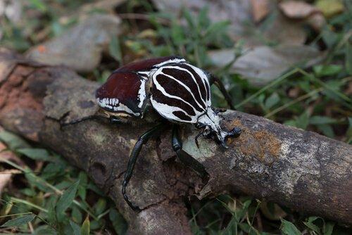 O besouro-de-golias