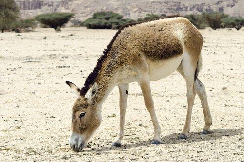 fauna do deserto de Gobi: burro selvagem
