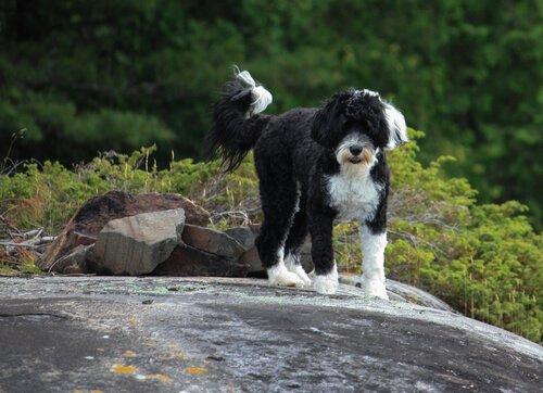 Cão de água português: um pescador