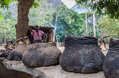 patas de elefantes mortos