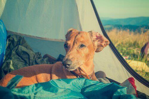 Cachorro em barraca de camping