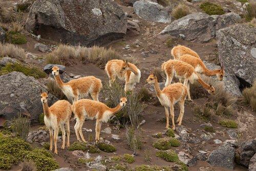 Conheça os camelídeos da América do Sul