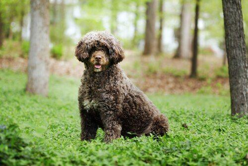 Cão de água português
