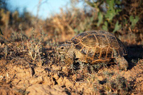 Características da tartaruga Horsfield