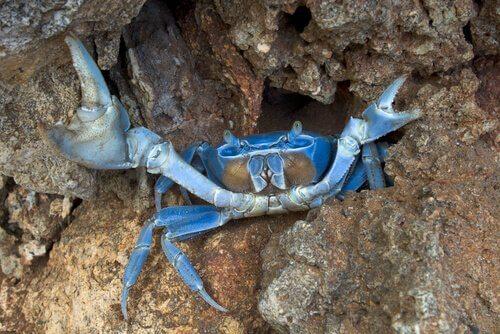 4 espécies de caranguejos marinhos: o caranguejo-azul