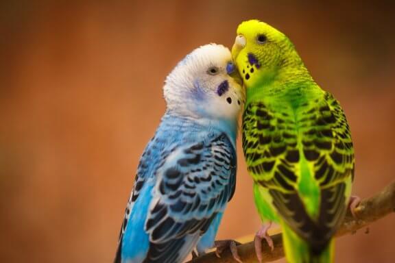 Os periquitos: aves fiéis ao parceiro