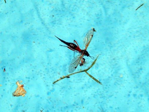 como evitar insetos na sua piscina: vespa