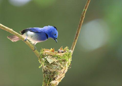 Aves peritas na construção de seus ninhos