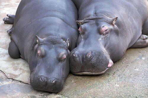 Casal de hipopótamos