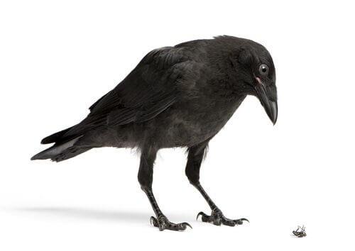 Corvo: um animal muito inteligente