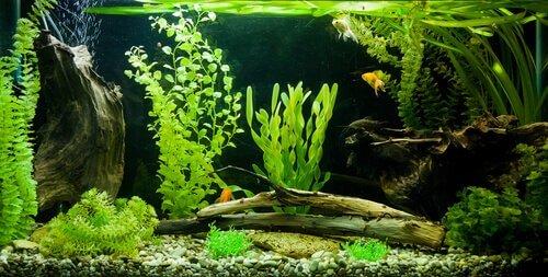 Algas em seu aquário