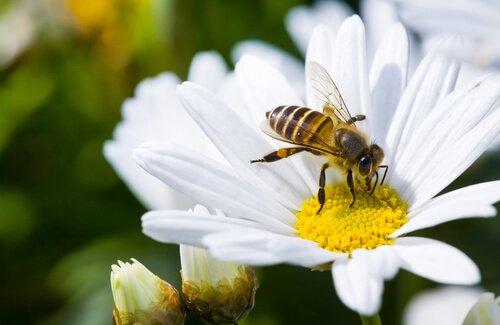Abelha pousada sobre uma flor
