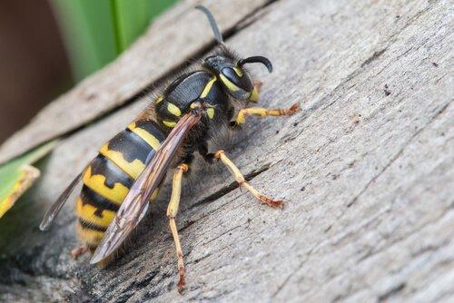 diferenças entre abelhas e vespas