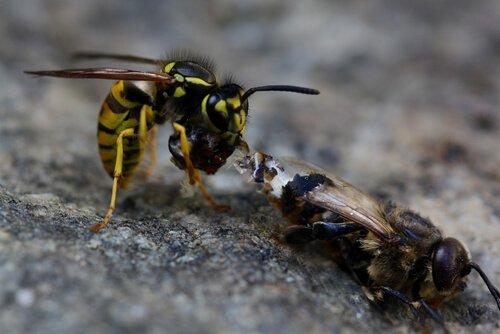 7 diferenças entre abelhas e vespas