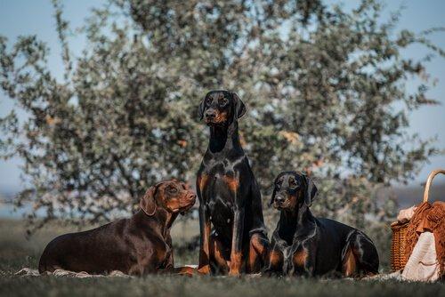 cães Dobermann