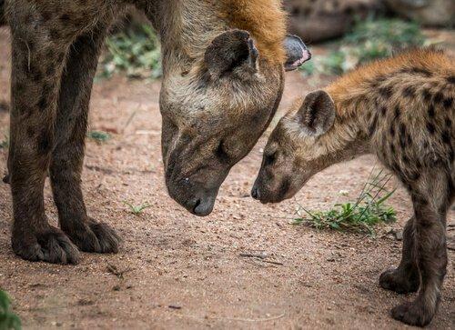 O domínio das fêmeas de hiena