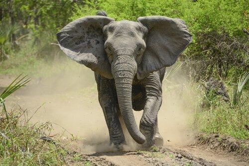 Elefante africano correndo