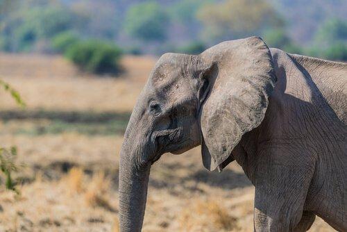Por que há cada vez mais elefantes sem presas?