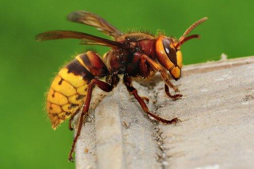 algumas espécies de vespas