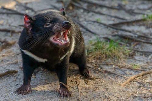 A fauna da Tasmânia
