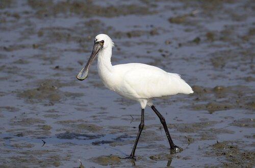animais que vivem nos manguezais: colhereiro