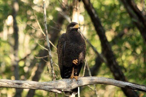 a fauna dos manguezais: falcão negro