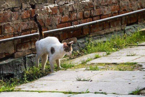 Gato marcando território