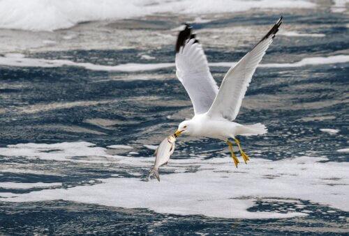 gaivota: características