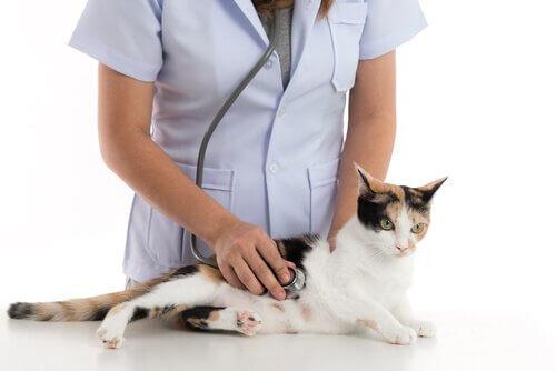Gata grávida no veterinário
