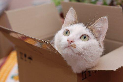 gato em caixa de papelão