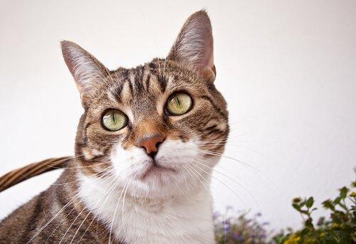 gato comum europeu