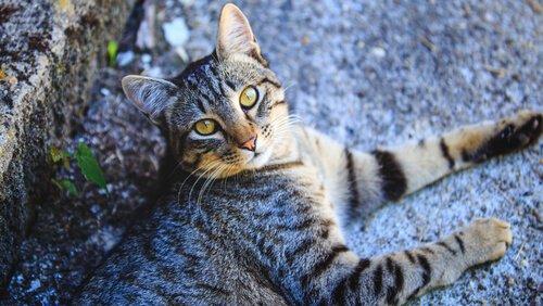 Tudo sobre o gato comum europeu
