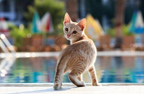 gato na piscina