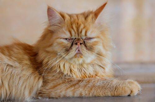 gato persa amarelo