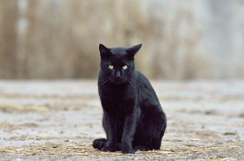 gato preto e superstições