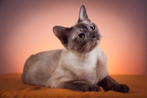 Gato tonquinês, características e cuidados