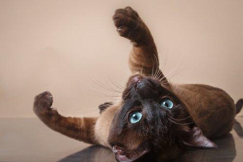 conheça o gato tonquinês