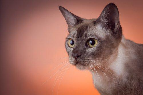 gato tonquinês