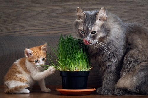 Gatos comendo erva dos gatos