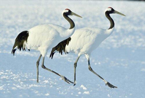 grous caminhando na neve