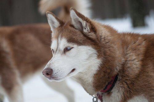 curiosidades do husky siberiano