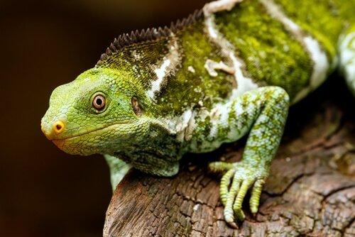 Iguana-de-crista de Fiji