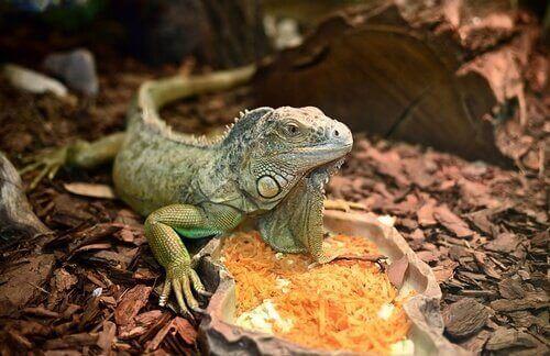 dicas para ter uma iguana de estimação