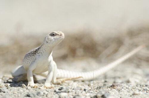 conheça 5 espécies de iguanas: a iguana do deserto