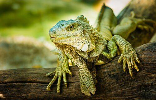 animais que comem flores: iguana verde