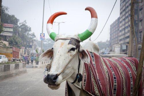 A importância da vaca na Índia
